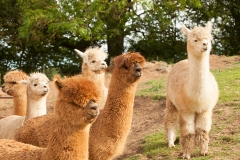 Alpaca Alpaca Team Shot 2017