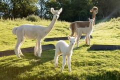 alpaca-on-farm-september